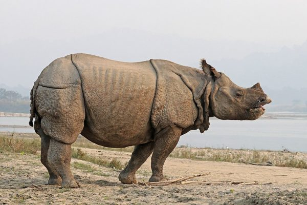 Indian Rhinoceros Images