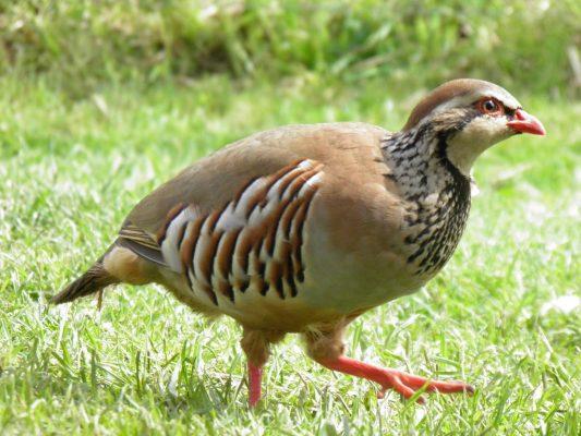 Partridge (पार्ट्रिज)
