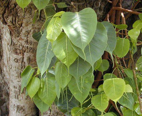 Ficus Religiosa (पीपल का पेड़)