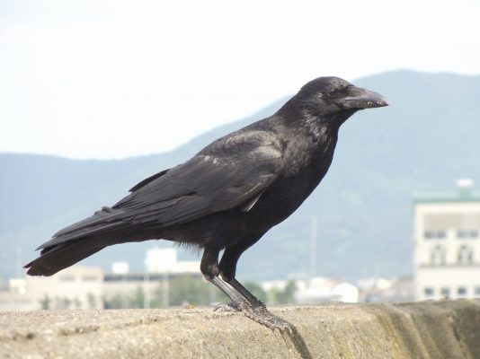 Crow Images