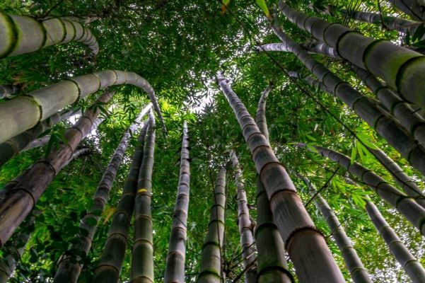 Bamboo Tree Images